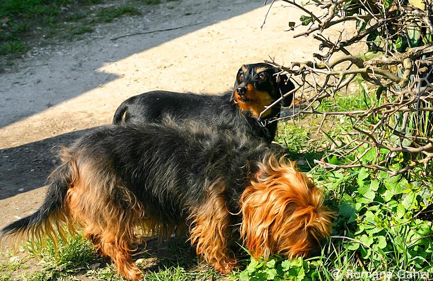 Asiatische Marienkäfer Hund